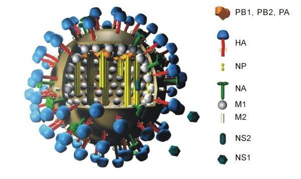 virus-grippe-schema.jpg